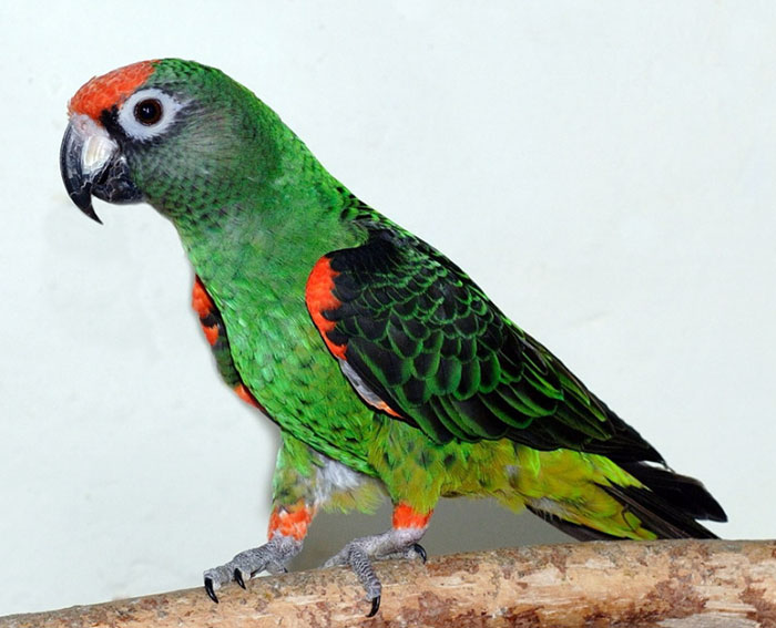 Jardine papegaai de mooiste papegaaien pinterest for Jardin jardine