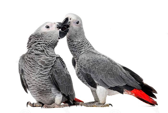 grijzeroodstaart-papegaai-04