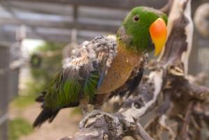 edel-papegaai-plukken
